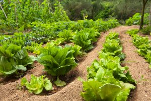 lettuce in the vegetable garden