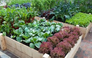 Vegetables in Raised Beds